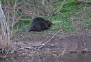 beaver hunting